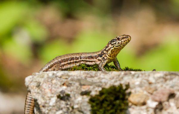 Tierfotografie Naturfotografie Wildlife Mauereidechse Detlef Koester Dortmund