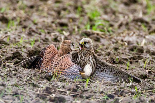 Kampf  Mampf Turmfalken  Maus Naturfotografie Greifvogel Wildlife
