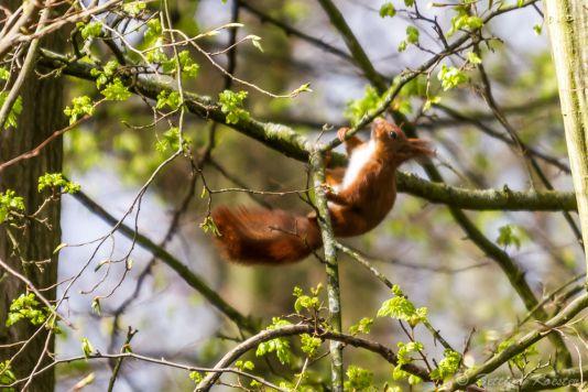 Eichhörnchen  Naturfotografie Detlef Koester Fotograf Dortmund Tierfotografie