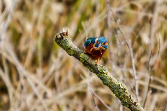 Detlef Koester Dortmund  Naturfotografie Eisvogel Alcedo atthis