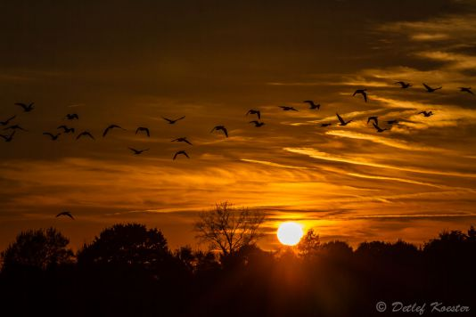 Detlef Koester Dortmund  Naturfotografie Wildgänse wild goose