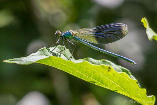 Detlef Koester  Naturfotografie gebänderte Prachtlibelle