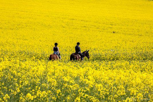 Landschaftsfotografie  Detlef Koester Fotografie Dortmund Rapsfeld canola field