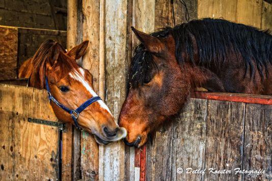 Pferde Fuchs Tinker Begrüssung Hallo Nachbar Detlef Koester Fotografie