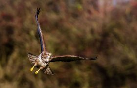 Common buzzard Mäusebussard wildlife bird of prey Greifvogel