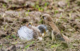 Naturfotografie Tierfotografie Wildlife Turmfalken Beute Detlef Koester Dortmund