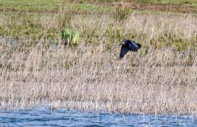 Detlef Koester Dortmund  Naturfotografie Krähe Frosch crow frog
