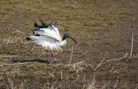 Detlef Koester Dortmund  Naturfotografie Ibis
